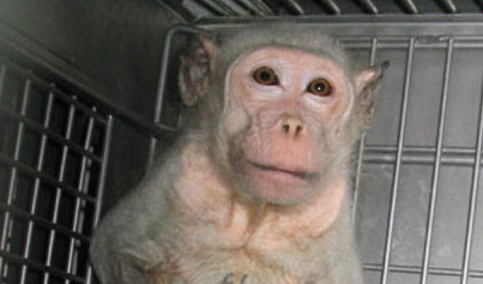 Ein Affe im Versuchslabor (foto: gemeinfrei)