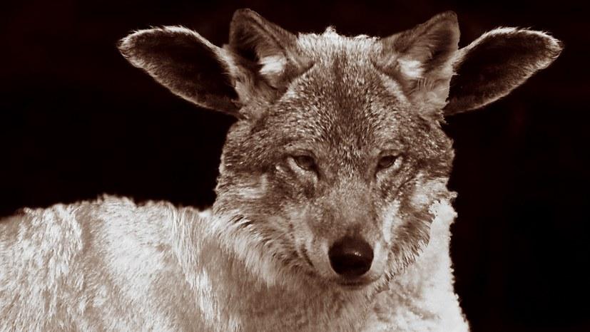 AfD – brauner Wolf im Schafspelz